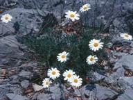 Leucanthemum chloroticum?