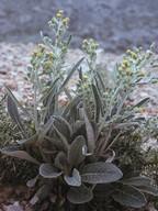Senecio thapsoides