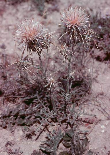 Centaurea pseudoreflexa