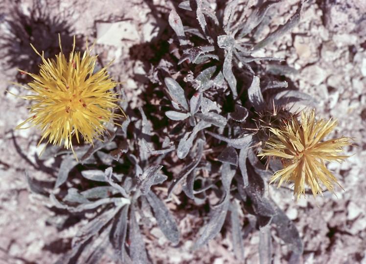 Centaurea sp.4