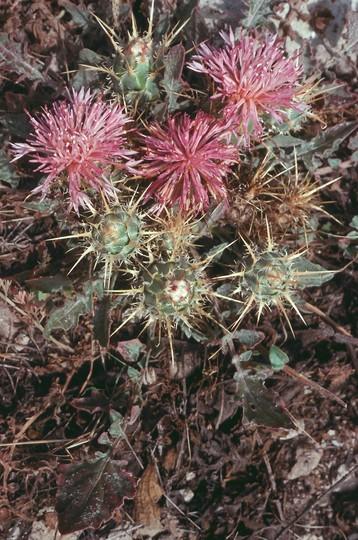Centaurea sp.5