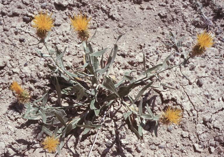 Centaurea sp.3