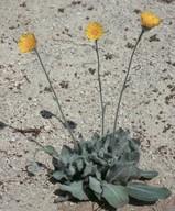 Hieracium bornmuelleri