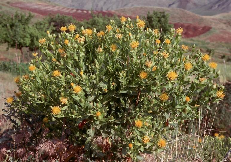 Centaurea albonitensis?