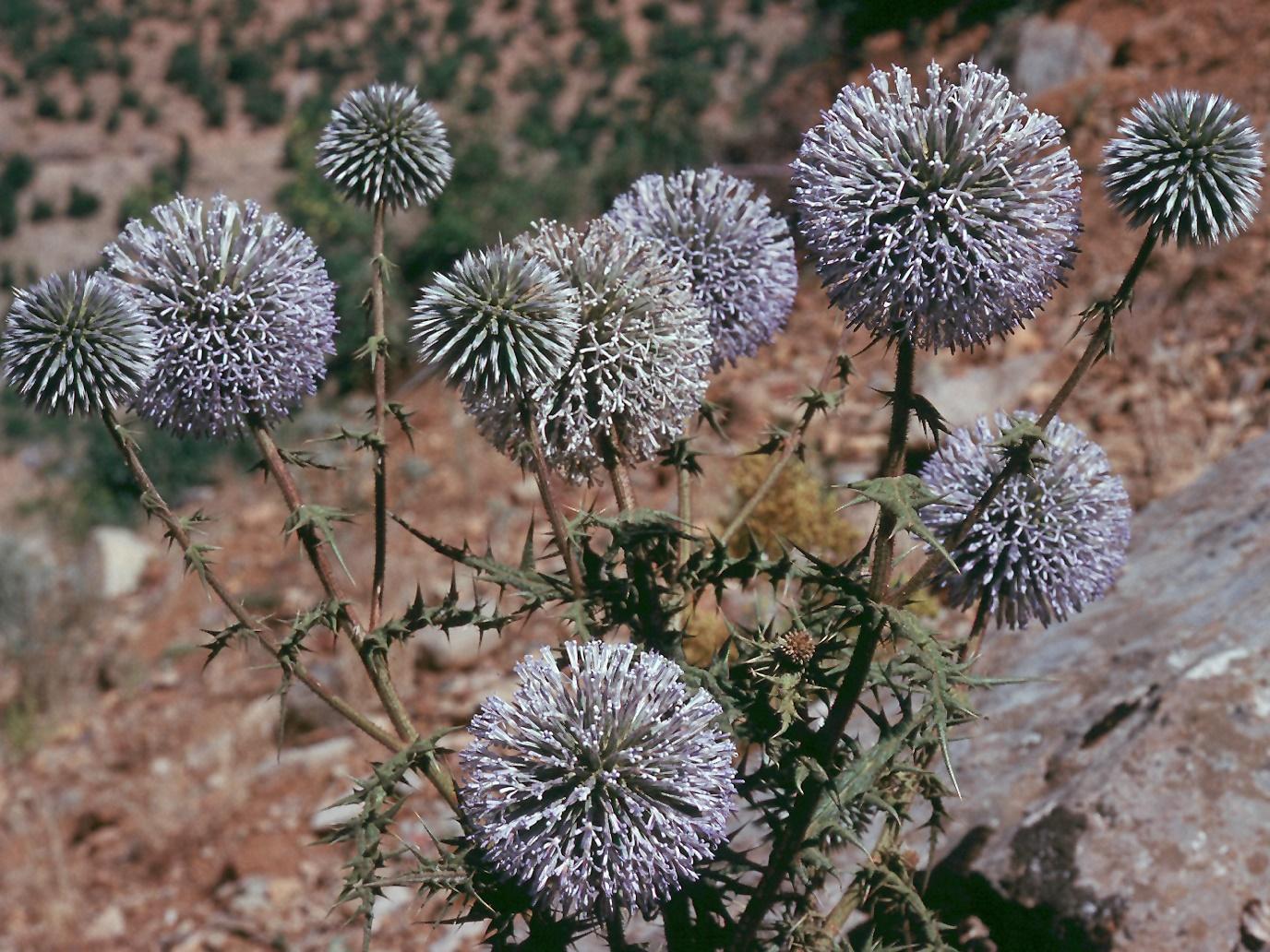 Echinops sp. 1
