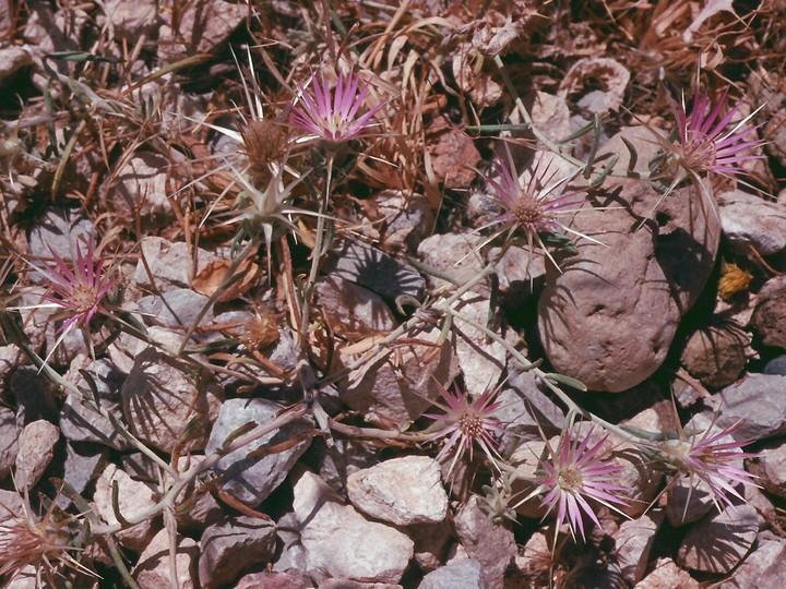 Centaurea sp.2