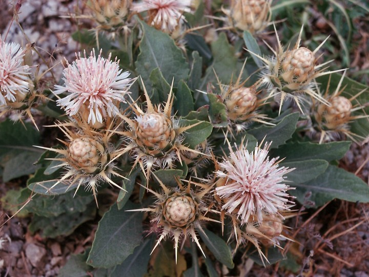 Centaurea sp.6