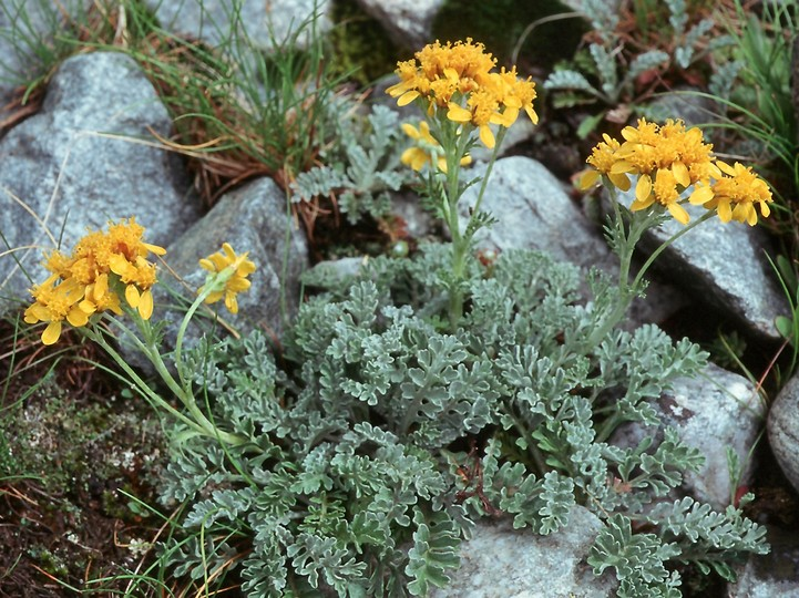 Senecio incanus