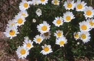 Leucanthemopsis alpinum
