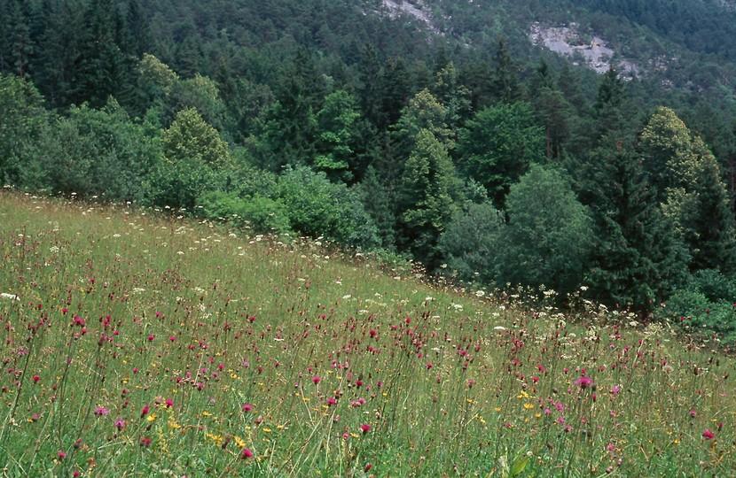 Cirsium pannonicum