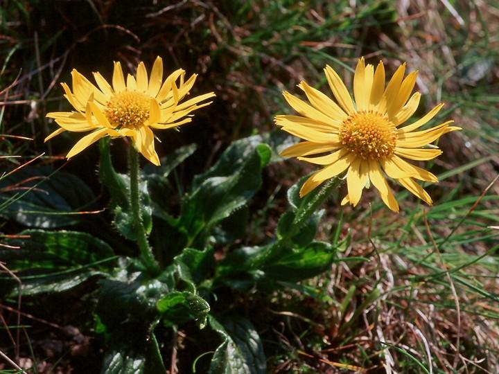 Doronicum glacialis