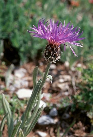 Centaurea triumfetti?