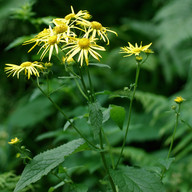 Doronicum austriacum