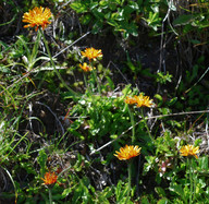 Crepis aurea