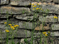 Crepis capillaris