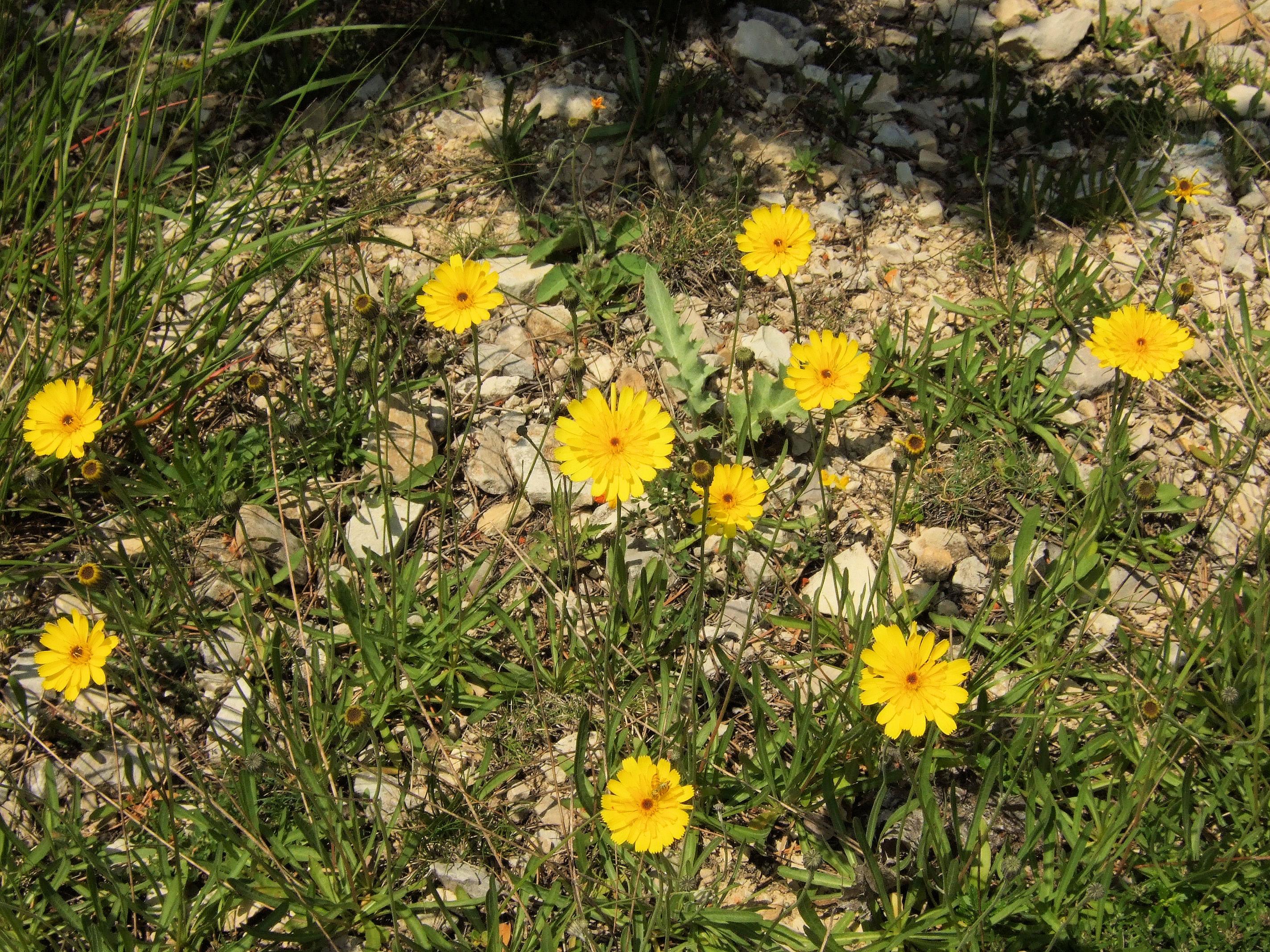 Tolpis staticifolia