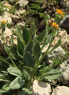Senecio doronicum