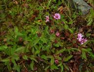 Eurybia sibirica