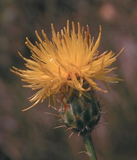 Centaurea rupestris
