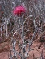 Jurinea albicaulis ssp. kilaea