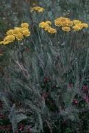 Tanacetum millefolium