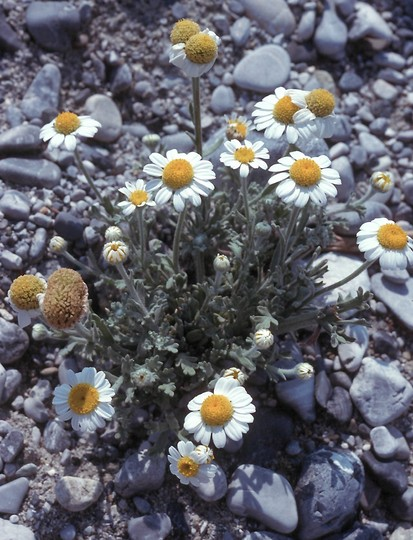 Anthemis tomentosa