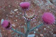 Onopordum bracteatum ssp. ilex
