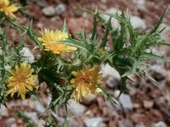 Scolymus hispanicus