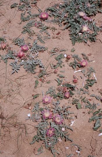 Centaurea pumilio