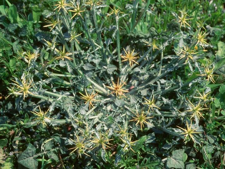 Centaurea idaea