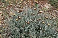Phagnalon rupestre ssp. graecum