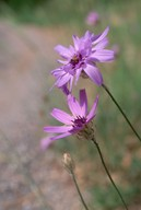 Catananche coerulea