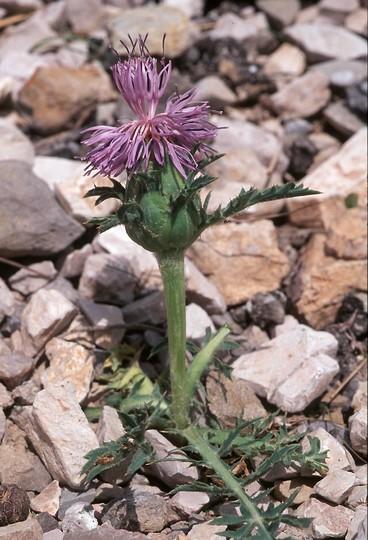 Carduncellus monspeliensium