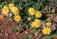 Senecio glaucus ssp. cyprius