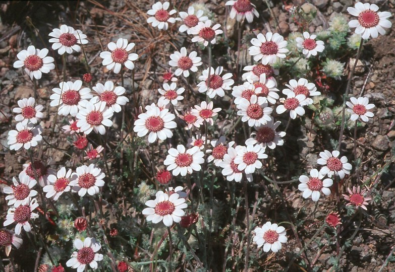 Anthemis tricolor