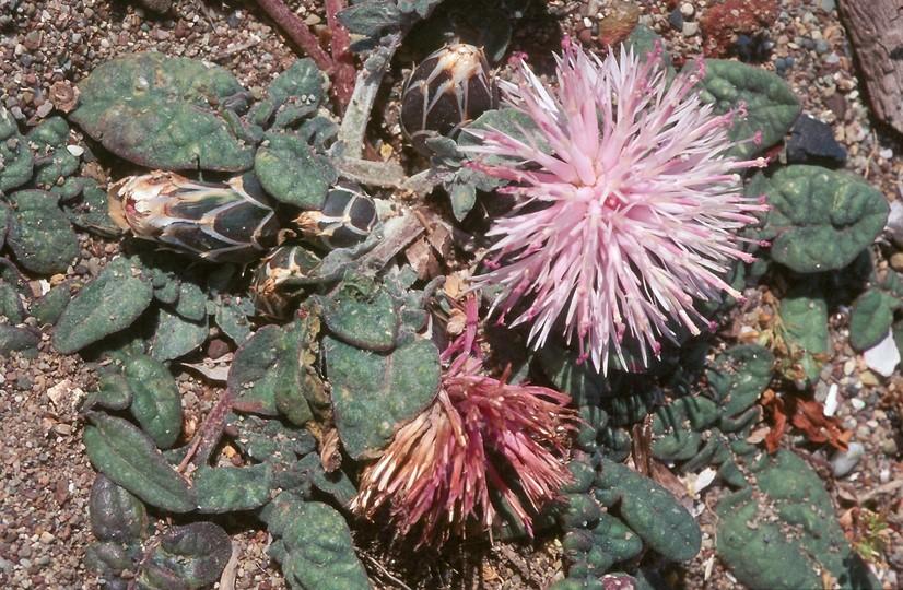 Centaurea aegialophila