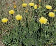 Urospermum dalechampsii