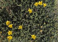 Launaea cervicornis