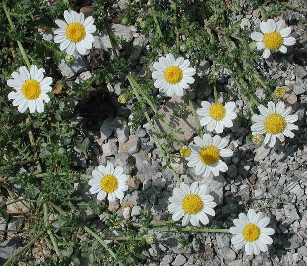 Anthemis arvensis ssp. incrassata