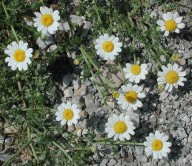 Anthemis arvensis ssp. incrassata