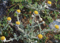 Anthemis tomentosa