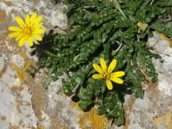 Hyoseris radiata