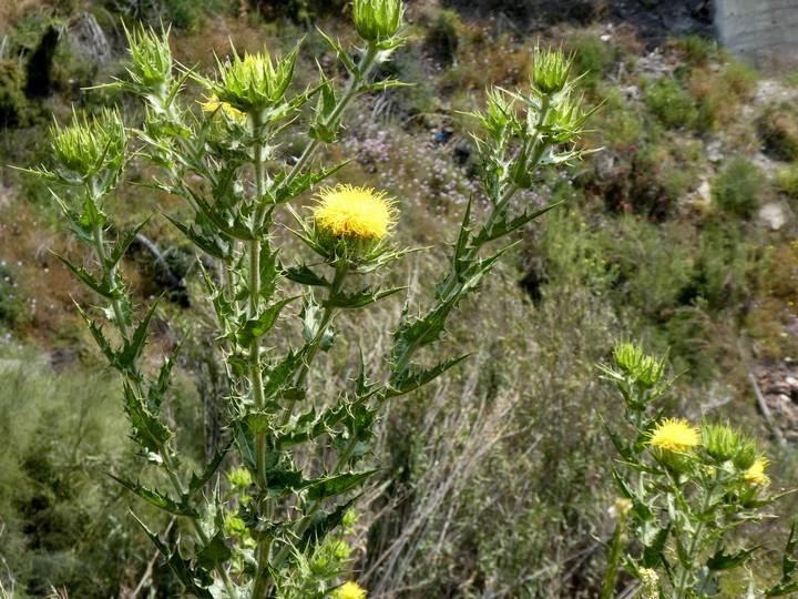 Carthamus arborescens
