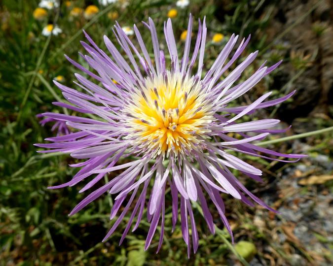 Centaurea sp.