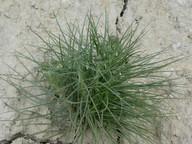 Scorzonera angustifolia