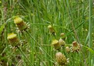 Phagnolon saxatile