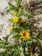 Scolymus hispanicus