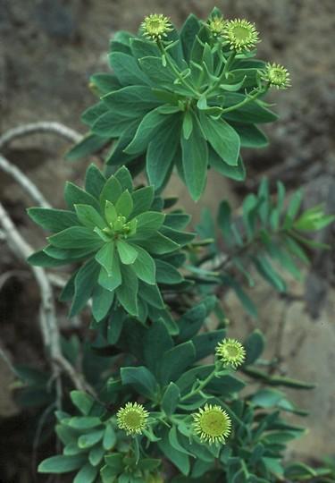 Vieraea laevigata