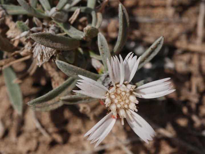 Atractylis preauxiana