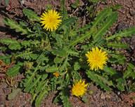 Reichardia ligulata